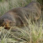 Fur seal on Piha beach