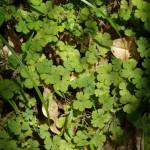 Native Plants E-I
