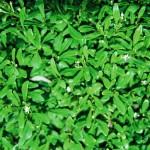 Native Plants O-T