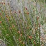 Native Plants U-Z