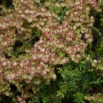 Pest plants A-E
