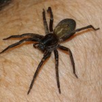 Vagrant spider saved from fire
