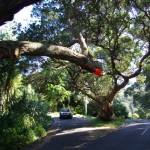 Removal of one limb from Beach Valley Road pohutukawa