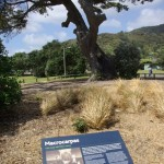 New interp for Piha macrocarpa