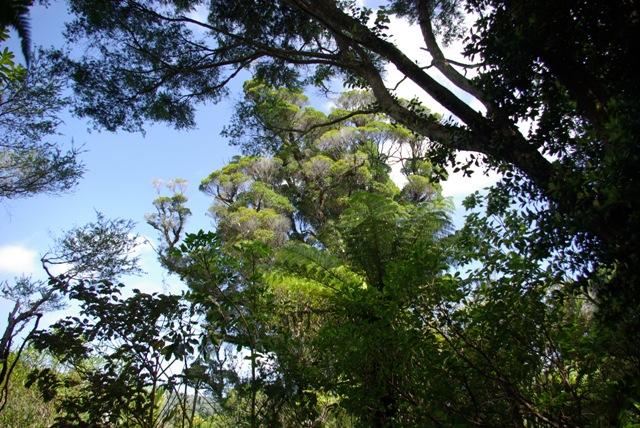 tree anawhata