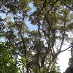 Glorious Kauri Grove Track