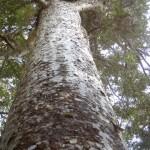 Glorious Kauri Grove Track