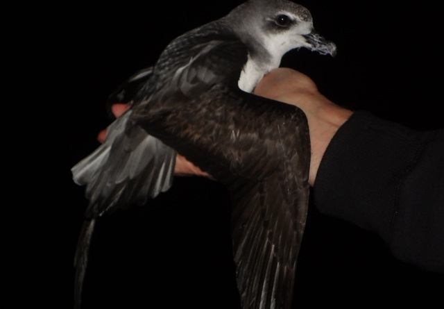 Large wings of grey-faced petrel