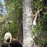 Government pledges $26.5m over 4 years for kauri