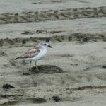 Northern dotterel chick killed by dog on N Piha beach