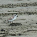 Northern dotterel chick killed by dog on N Piha beach