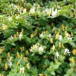 Pest plants F-L