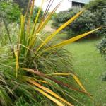 Flax yellow leaf virus