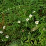 Pest plants M-R