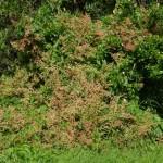 Terrible weed enlarging its grip at Piha