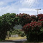 Roadside trees in Piha in need of protection