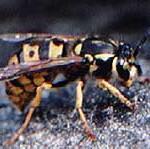 Wasp menace in the Waitakeres